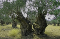 Hundreds of years old Olive trees in Astros, Peloponnese, Greece